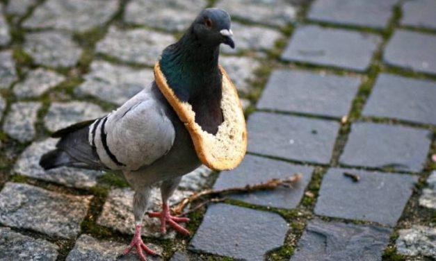 Nie karmić gołębi